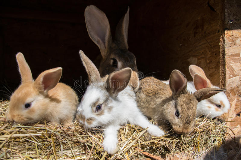 Many young sweet bunnies in a shed. A group of small colorful rabbits family feed on barn yard. Easter symbol.  royalty free stock photos