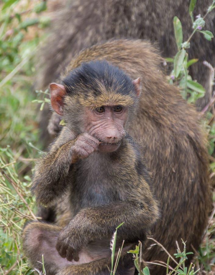 Manyara National Park, Tanzania - Baby Baboon. Lake Manyara National Park is a Tanzanian national park located both in Arusha Region and Manyara Region, Tanzania royalty free stock photos
