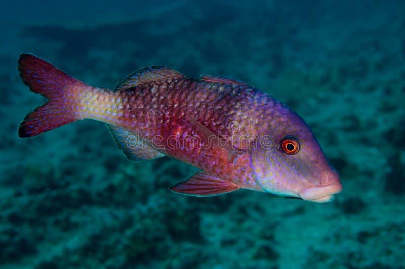 Download Manybar Goatfish stock photo. Image of pseudopneus, colorful - 15715304