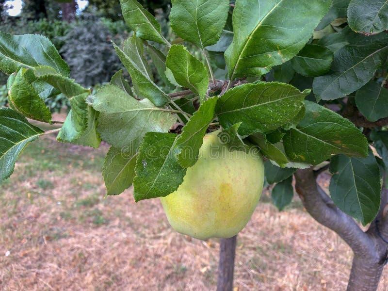 Manzana baja de la ejecución en una rama imagen de archivo