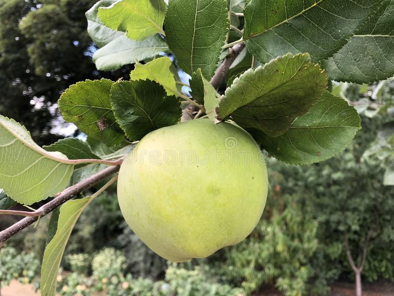 Manzana baja de la ejecución en una rama fotos de archivo