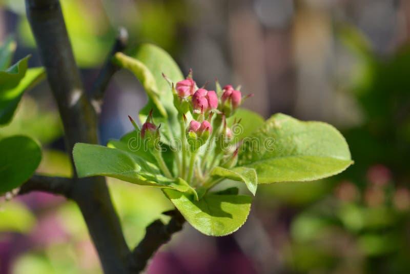 Manzana de cangrejo floreciente japonesa fotografía de archivo libre de regalías