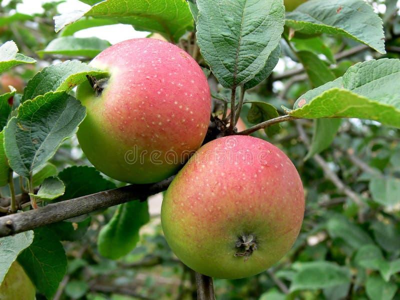 Manzana de dos rojos imagenes de archivo