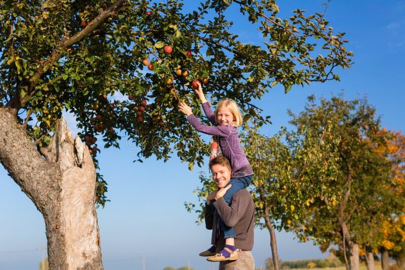 Manzana de la cosecha del padre y de la hija en otoño o caída foto de archivo