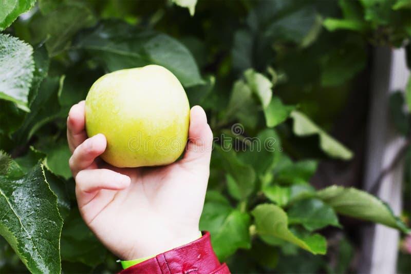 Manzana de la patata a la inglesa de miel que es sostenida en un exterior foto de archivo