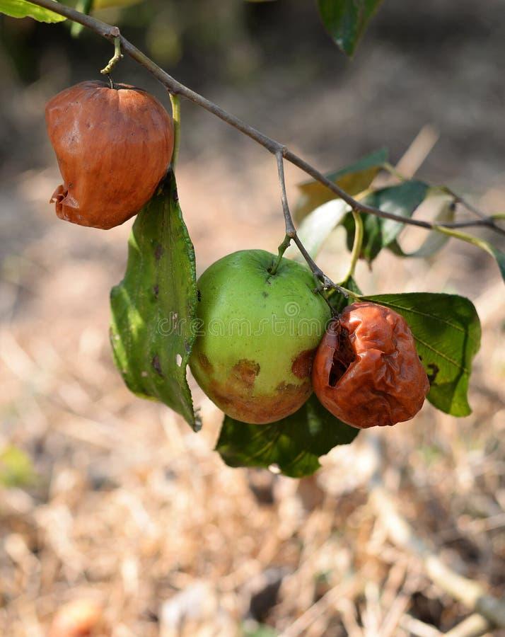 Manzana del mono madura imagen de archivo libre de regalías