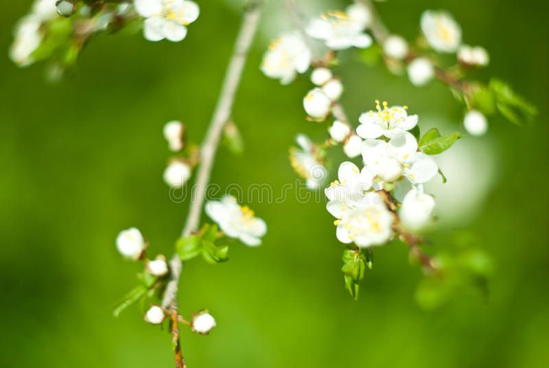 manzana en primavera fotografía de archivo