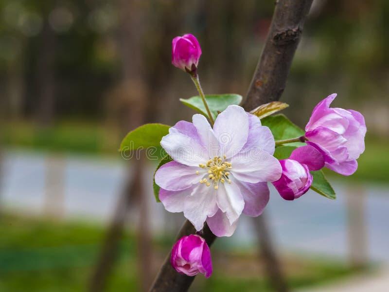 Manzana floreciente china floreciente imagen de archivo