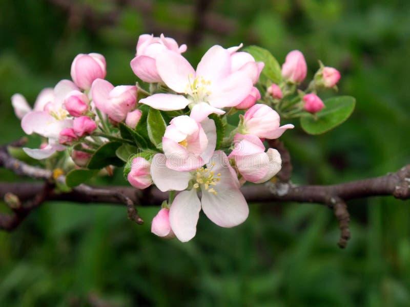 Manzana floreciente, manzana floreciente Cierre para arriba Fondo solar de la primavera, papel pintado de la foto imagen de archivo