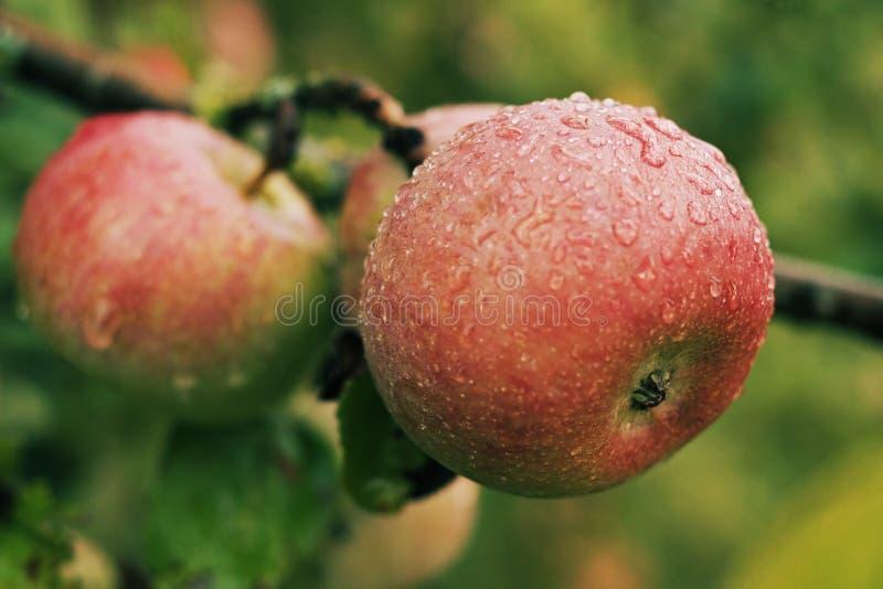 Manzana jugosa madura roja cubierta con el rocío que cuelga en la rama fotos de archivo