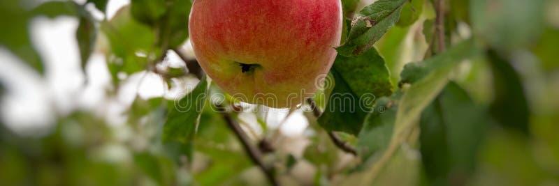 Manzana madura del otoño en un fondo del follaje y cielo en un día soleado foto de archivo libre de regalías