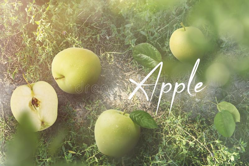 Manzana madura verde fresca que pone en hierba en el pueblo, de alta calidad foto de archivo libre de regalías