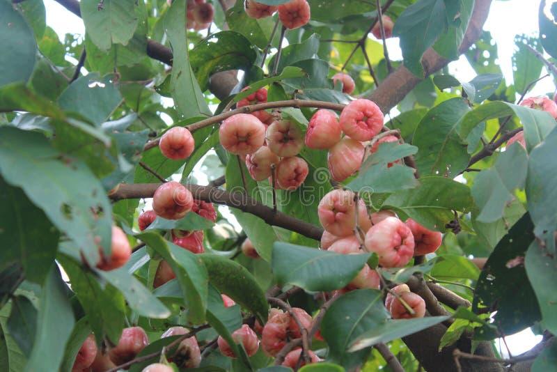 Manzana malaya, manzana color de rosa acuosa imagenes de archivo
