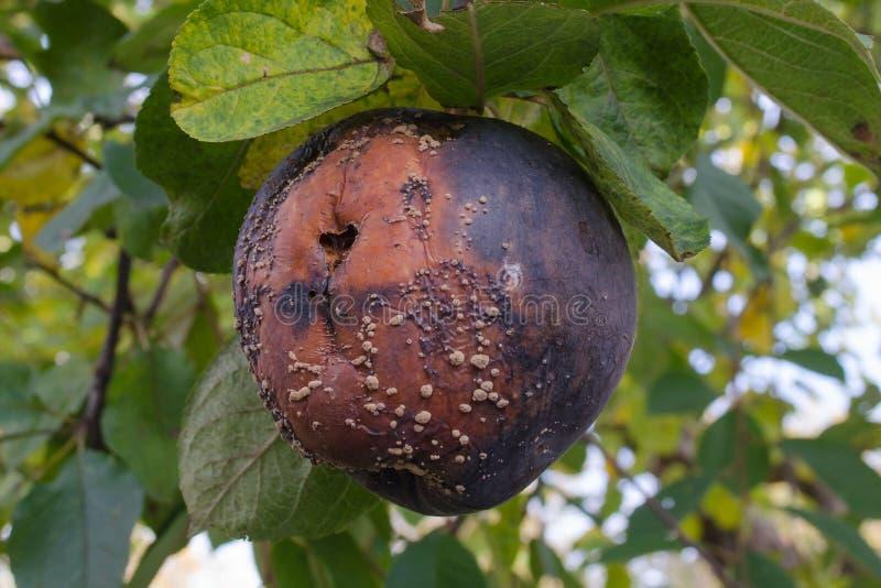 Manzana putrefacta con un molde en un manzano fotos de archivo