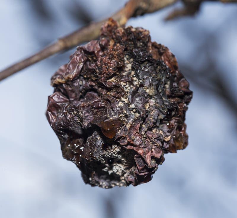 Manzana putrefacta en un árbol foto de archivo libre de regalías