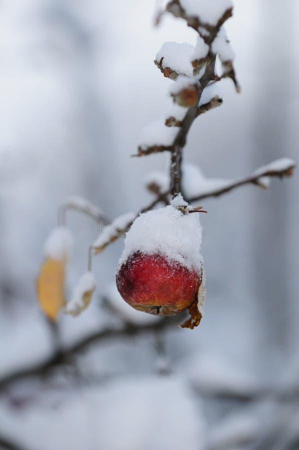 Manzana roja del invierno Nevado fotografía de archivo libre de regalías