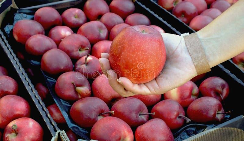 Manzana roja a disposición, palma El cultivar un huerto orgánico, agricultura Manzanas naturales de Moldavia Cosecha fotografía de archivo libre de regalías