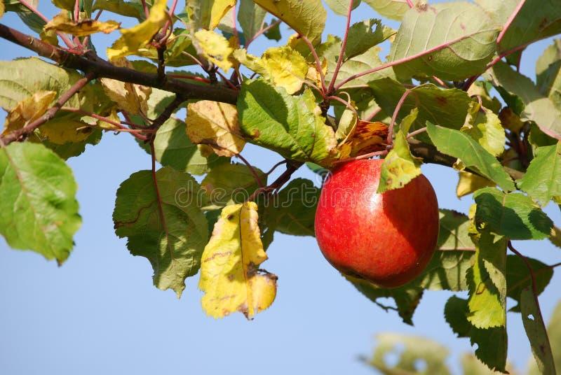 Manzana roja en rama fotos de archivo