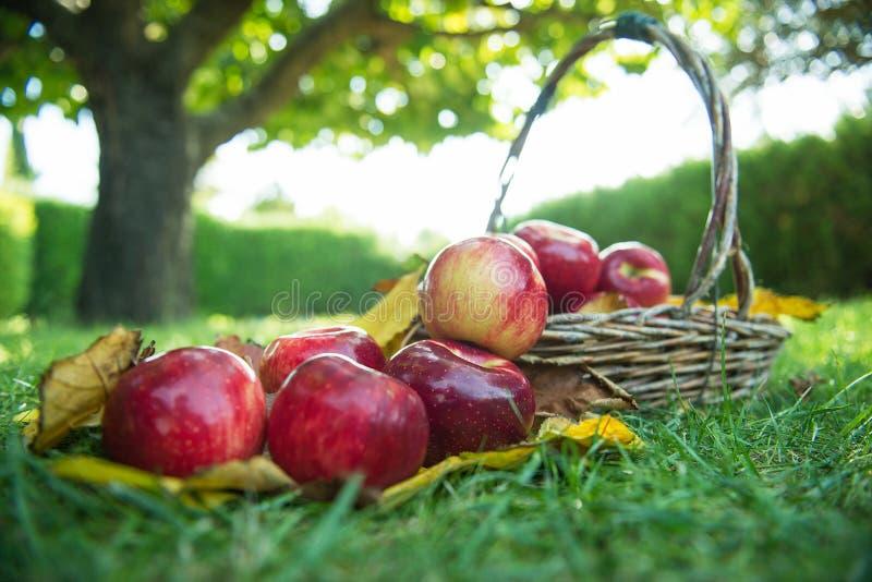 Manzana roja en una cesta fotografía de archivo