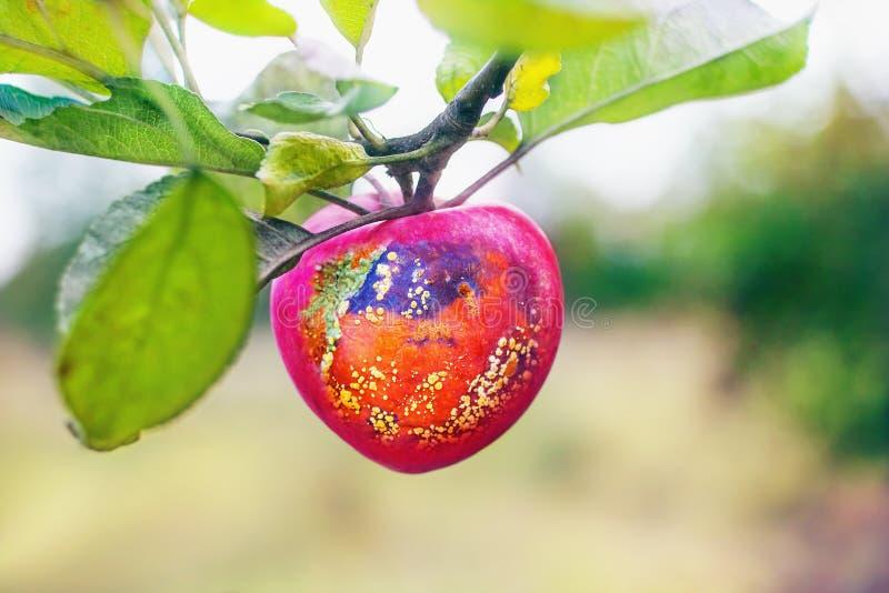 manzana roja Mitad-putrefacta imagen de archivo