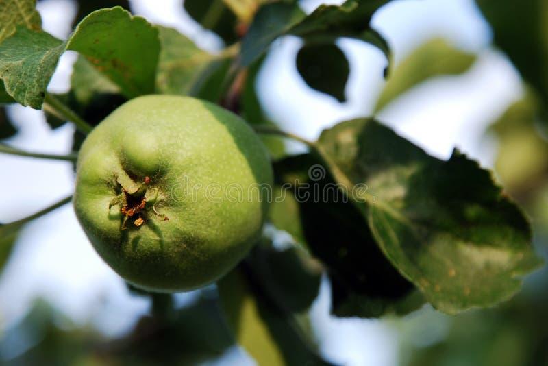 Manzana verde fresca en rama de árbol en luz del sol brillante foto de archivo libre de regalías