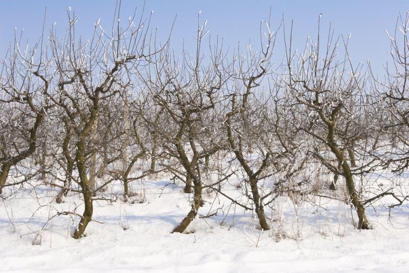 Manzanar Cubierto en nieve foto de archivo