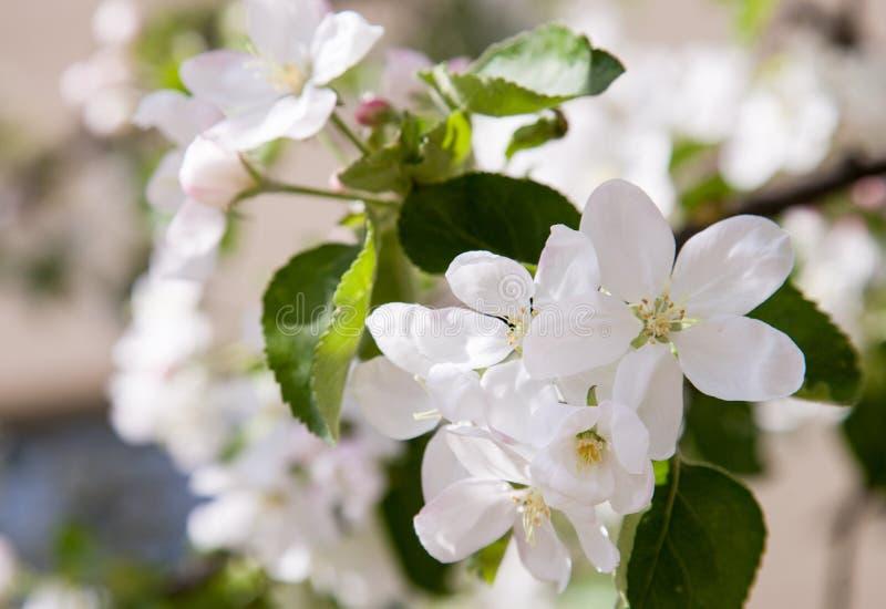 Manzanar de la primavera fotos de archivo libres de regalías