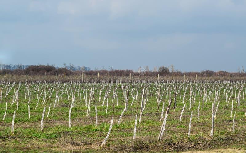 Manzanar joven Crecimiento y el cuidar para la huerta de los manzanos foto de archivo