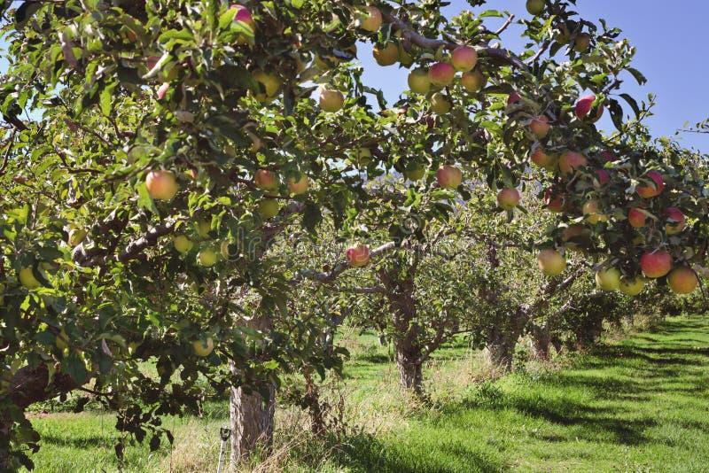 Manzanar rojo imagenes de archivo