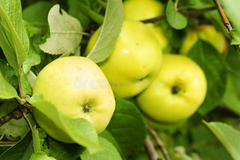 Manzanas amarillas en árbol imágenes de archivo libres de regalías
