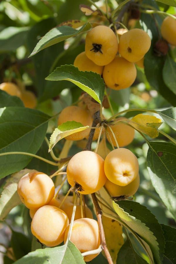 Manzanas amarillas en un árbol del paraíso imagenes de archivo