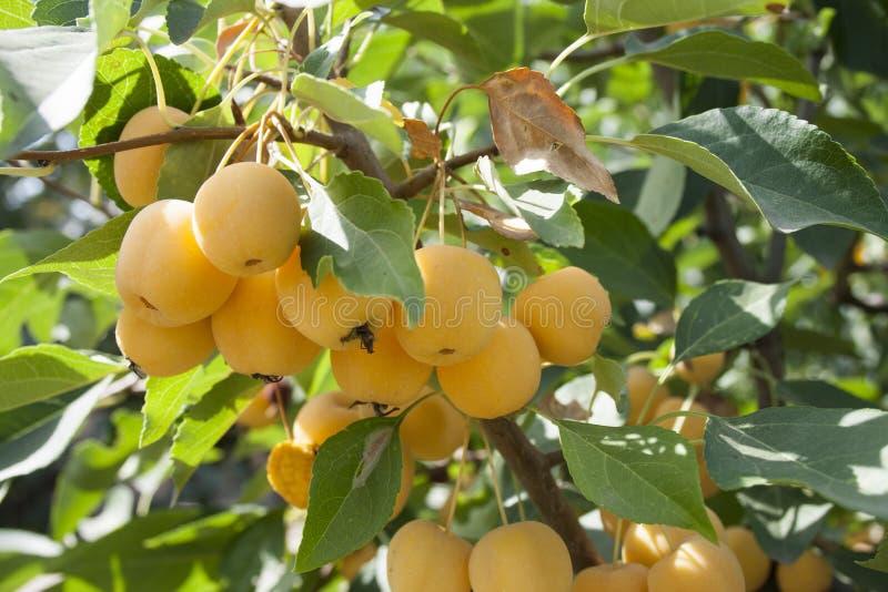 Manzanas amarillas en un árbol del paraíso fotografía de archivo
