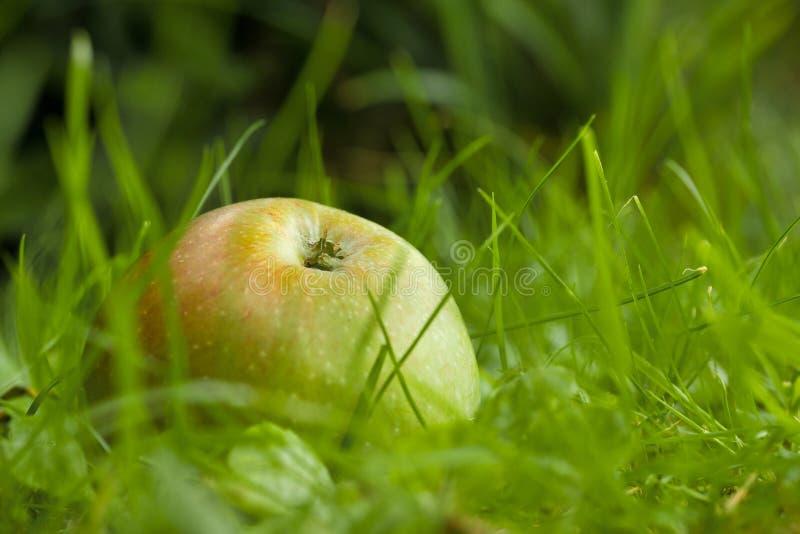 manzanas caídas en el suelo fotos de archivo libres de regalías