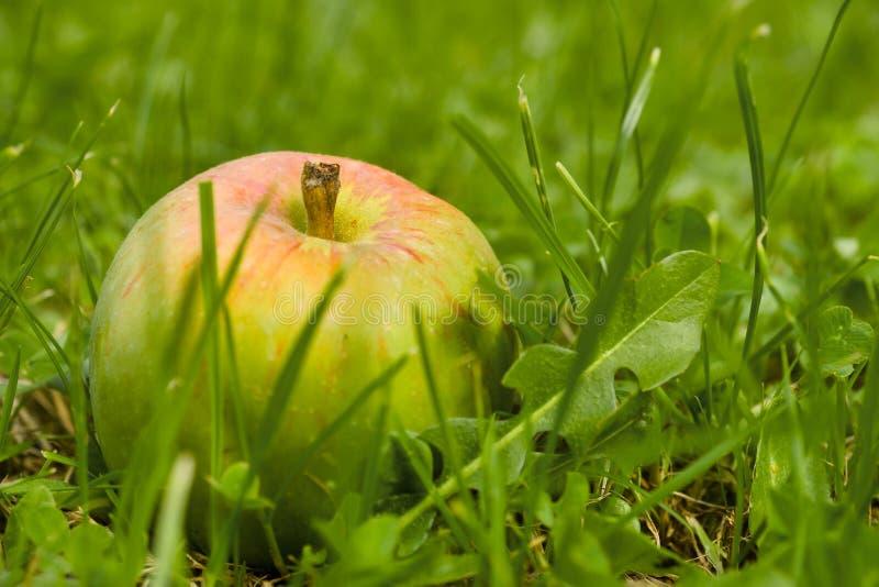manzanas caídas en el suelo fotografía de archivo libre de regalías