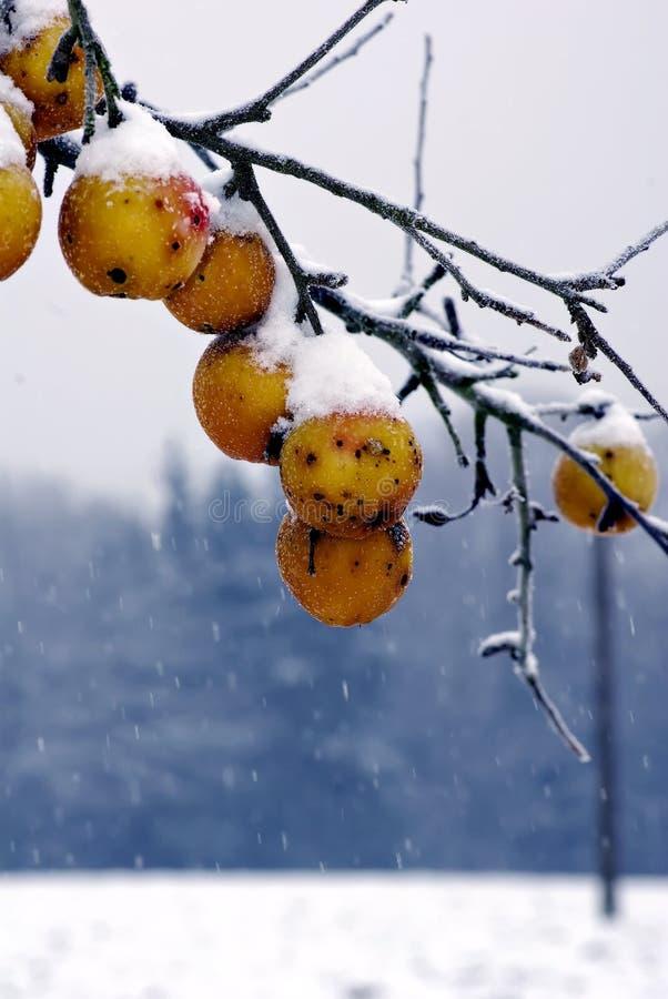 Manzanas congeladas en un árbol imagen de archivo libre de regalías
