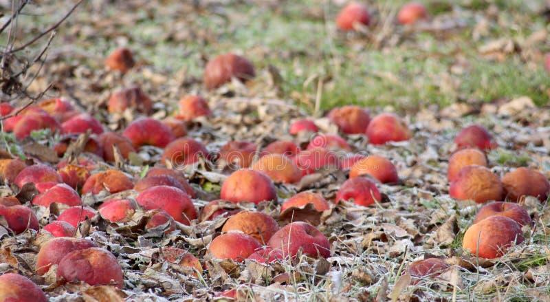 Manzanas congeladas en un manzanar en el morinig soleado temprano de diciembre foto de archivo libre de regalías
