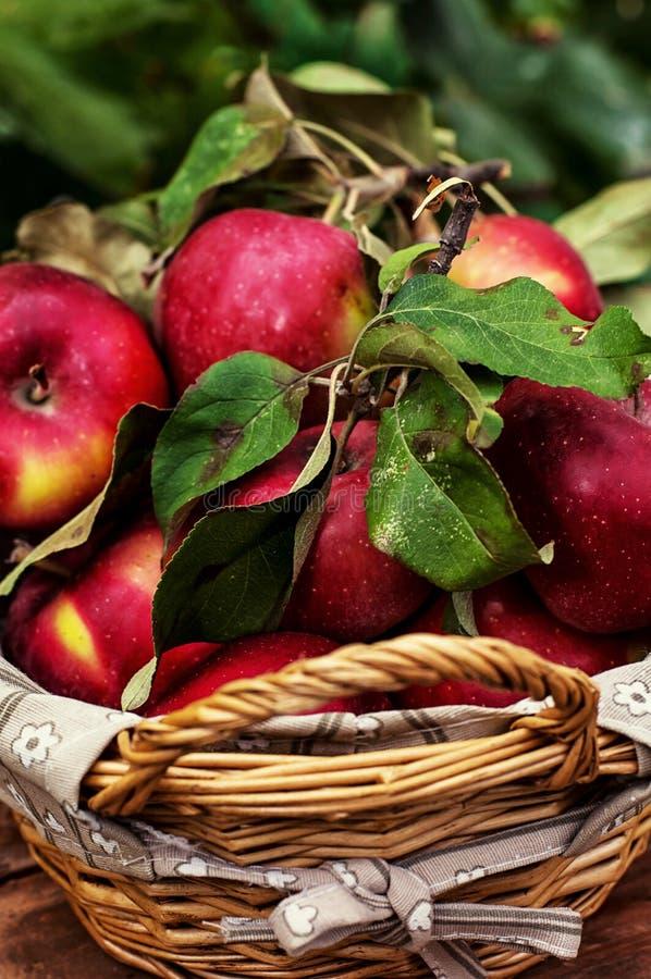Manzanas cosechadas fotos de archivo libres de regalías