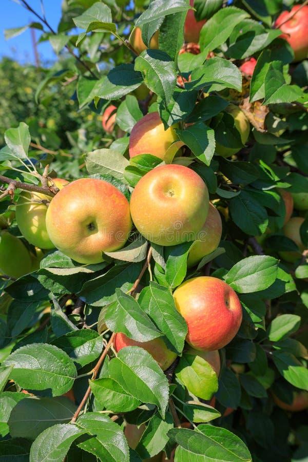 Manzanas de Honeycrisp en árbol imágenes de archivo libres de regalías