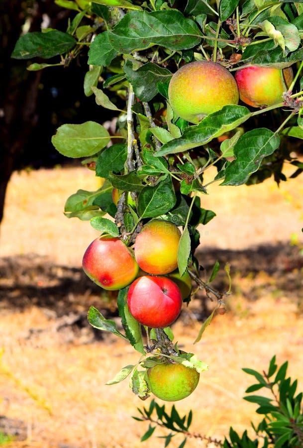 Manzanas de la caída fotografía de archivo