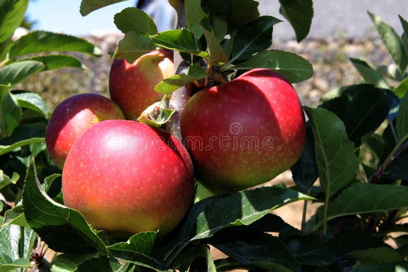 Manzanas de la cosecha fotografía de archivo libre de regalías