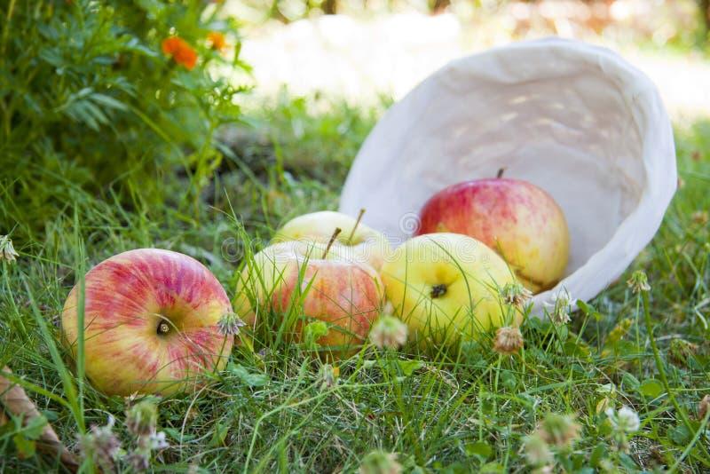 Manzanas de la cosecha imagenes de archivo