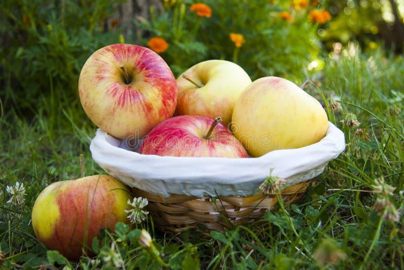 Manzanas de la cosecha imágenes de archivo libres de regalías