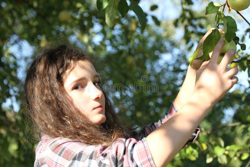 Manzanas de la cosecha de la muchacha foto de archivo libre de regalías