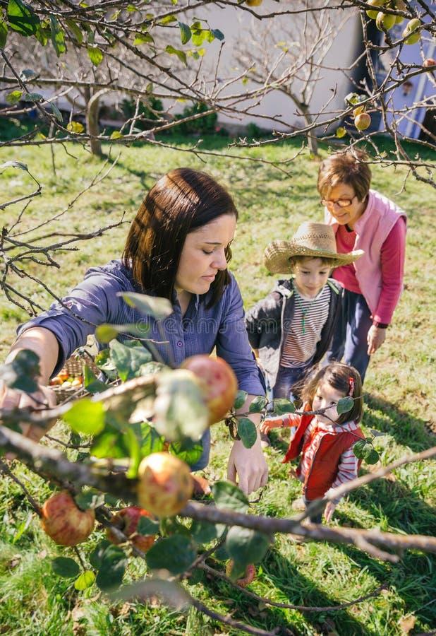 Manzanas de la cosecha de la mujer del árbol en una cosecha imágenes de archivo libres de regalías