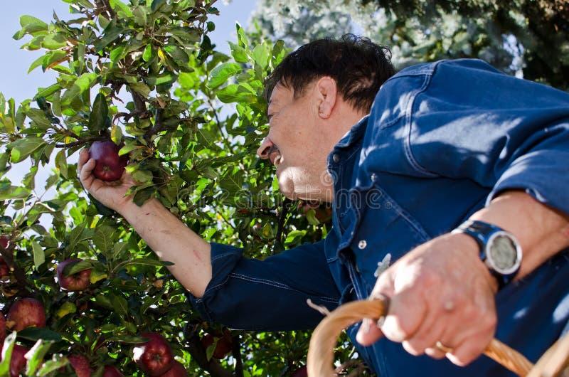 Manzanas de la cosecha del hombre fotos de archivo