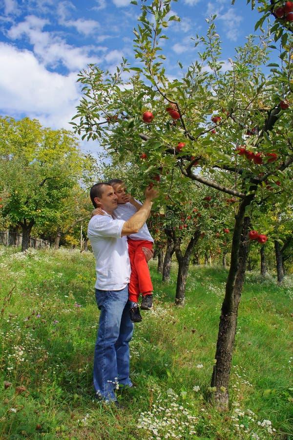 Manzanas de la cosecha del padre y del hijo foto de archivo