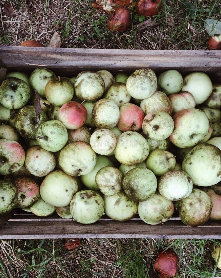 Manzanas de la cosecha en la huerta foto de archivo libre de regalías