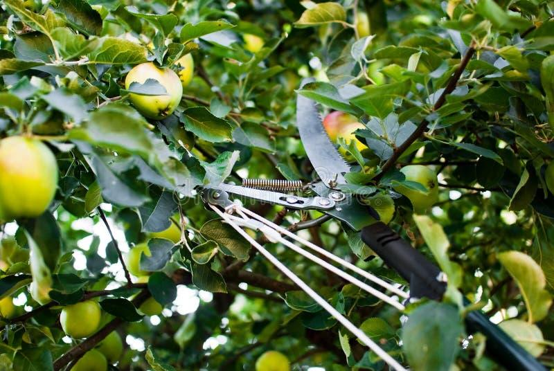 Manzanas de la cosecha en huerta por secateur foto de archivo libre de regalías