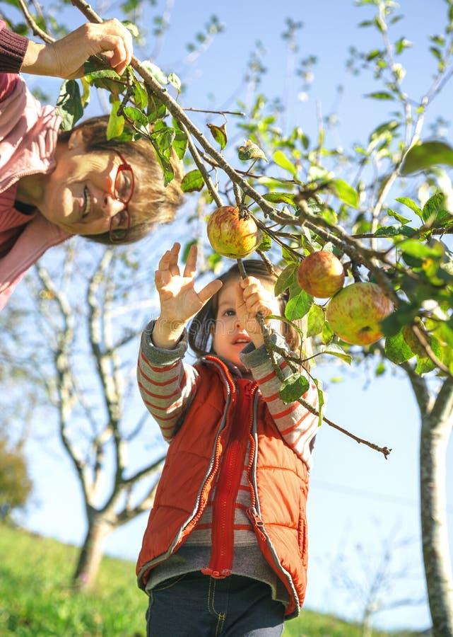Manzanas de la cosecha de la niña del árbol con la mujer mayor imágenes de archivo libres de regalías