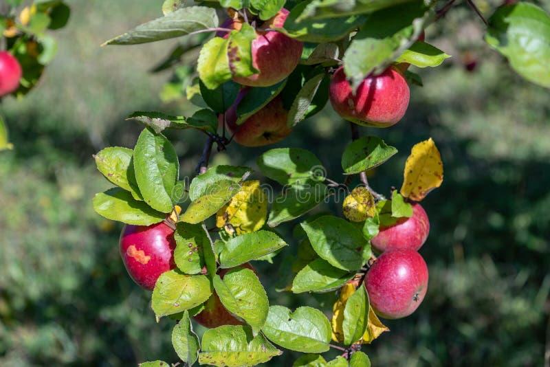 Manzanas del oto?o en una ramificaci?n fotos de archivo